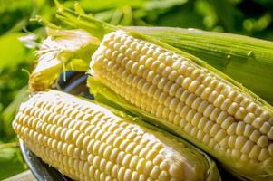 färsk knubbig och saftig majs på kolven foto