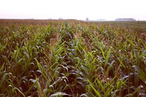 majsfält kväll foto