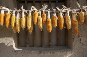 torkning av majs foto
