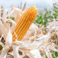 majs på stjälken i fältet foto