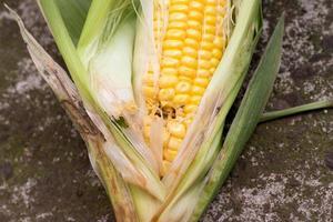 skadad majs av insekter foto