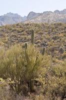 ökenlandskap - 1 kaktus, sagebrush med berg foto