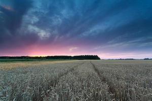 solnedgång över vetefält foto