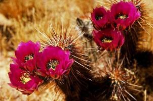 blommande häckskogskaktus foto