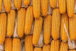 sockermajs jordbruksprodukter i gården foto