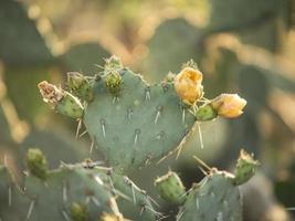 gul kaktus som blommar foto