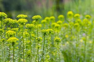 gräs, blommor foto