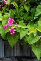 rosa korallvinrank och staket