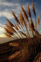 pampas gräs natursköna foto