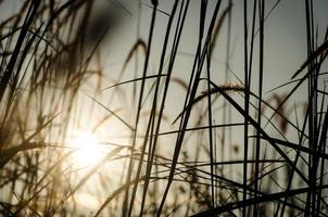 gräs plumes med dagg droppe foto
