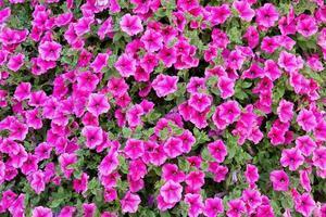 fundo de belas flores pink foto