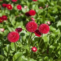 sommarröd blomma foto