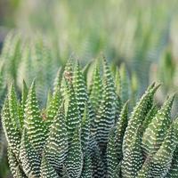 aloe vera - botande växt foto