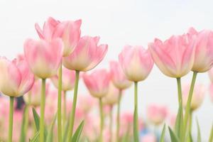 våren tulpaner. foto