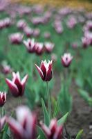 våren tulpaner