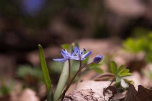 vårblåklockor foto