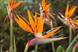 paradisets fågel blommar foto