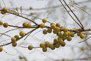 amla, emblica officinalis, indiska krusbär som växer på träd foto