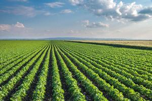 sojabönfält foto