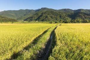 landskap av paddy gård foto