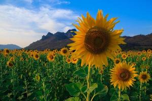 vackert landskap med solrosfält foto
