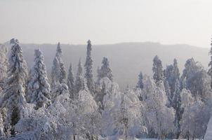 vinter skog foto