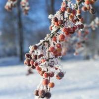 vinter rönnbär