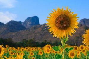 fält av solrosor, sommarlandskap foto