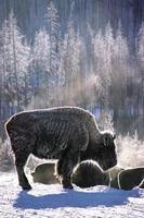 vintern i Yellowstone foto