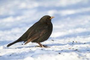 blackbird på vintern foto