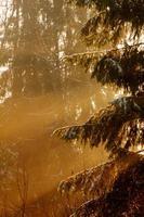 vinter skog. gryning. foto