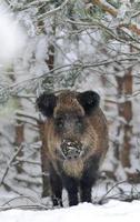 vildsvin i vinterskog foto