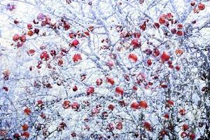 frostade röda äpplen på vintern foto