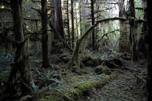 Stillahavsområdet douglas granträd