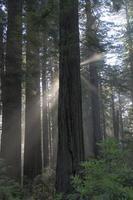 redwoods foto