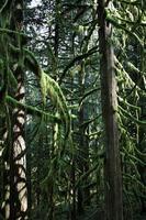 täta granträd i skogen