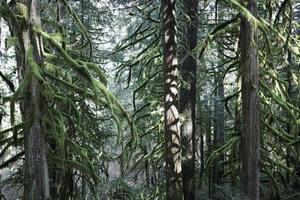 granträd i skogen