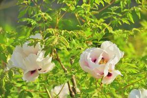 blommor trädpioner foto