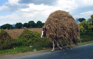 häst täckt av halm foto