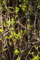 nya gröna vårlöv i naturligt ljus foto