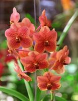 röda orkidéblommor foto