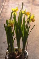 gul påsklilja foto
