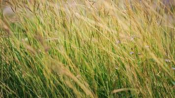 bakgrund av gräsfält.