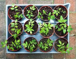 tomatplantor foto