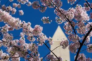 körsbärsblommor och washington monument foto