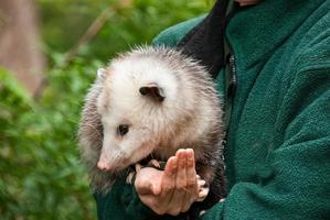 opossum och hanterare foto