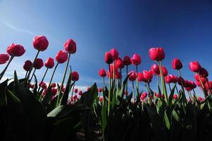 röd tulpan med blå himmel foto