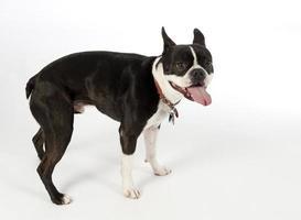boston terrier hund, profil foto