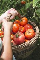 plocka tomater i korgen foto