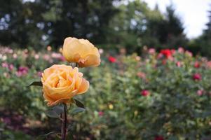 gul-orange rosor